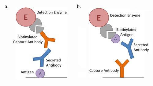 B cell ELISpot Schematic