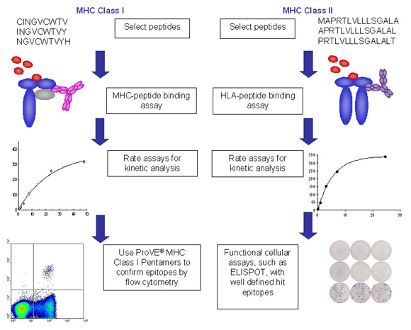 Flow diagram for ProImmune REVEAL & ProVE® Epitope Discovery System