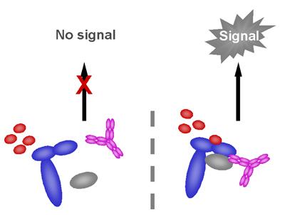 Schematic representation of MHC-peptide binding assay